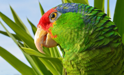 Mexican Red Headed Amazon