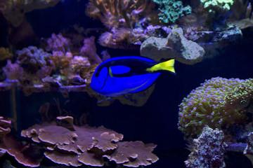 Wall Murals Coral reefs Рыба Хирург голубой (королевский)