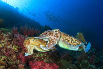 Cuttlefish pair sex mating