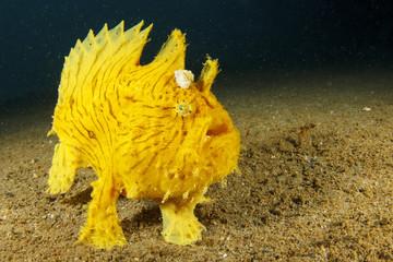 Fototapete - Shaggy Frogfish (Anglerfish)