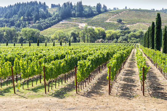 Vineyard in the hilly Napa Valley area