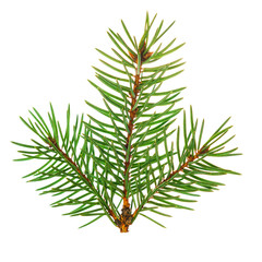 Christmas tree branch, isolated on white background