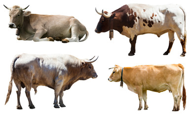 Fototapete - Set of bulls and cow. Isolated over white