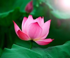 Fototapete - Lotus flower