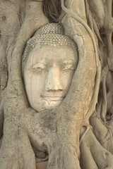 Head of buddha image buried inside tree root
