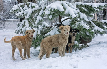 Stray dogs in the snow