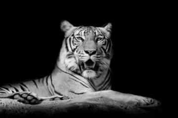 Wall Mural - Black and White Close up tiger