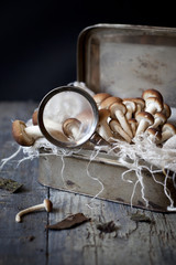 fresh mushrooms on vintage tin box with magnifying glass