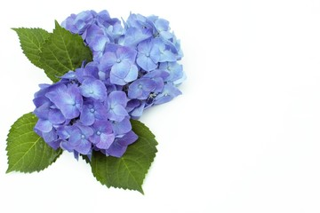 Printed kitchen splashbacks Hydrangea アジサイ