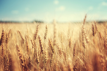Papiers peints Culture golden wheat field and sunny day
