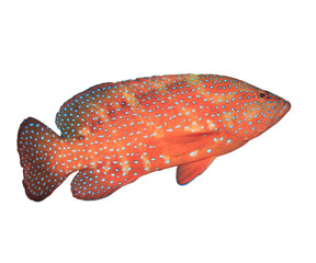 Tropical fish isolated on white: Coral Grouper