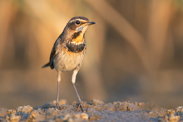 Bluethroat in evening