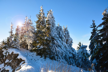 Trees covered by snow in winter forest on mountain