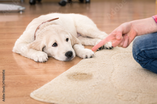 Getting urine out of carpet dog