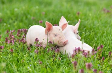 Piglets on grass