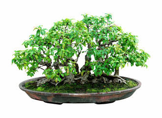 bonsai tree with white background,general decoration in the trad