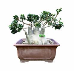 Azalea flowers bonsai tree isolated on white background