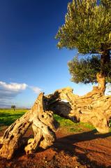 Puglia Olivo Ulivo