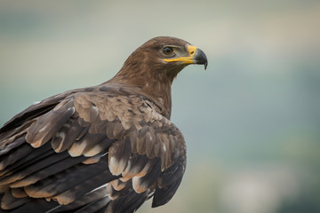 Steppe eagle close up