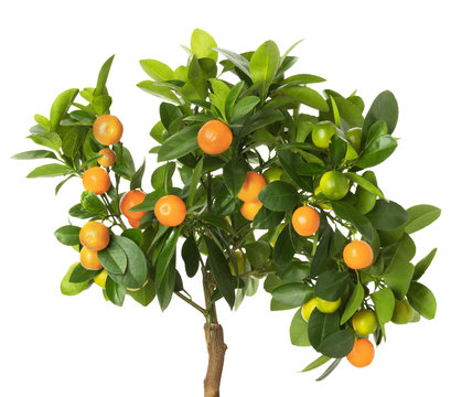 tangerine tree isolated on the white background