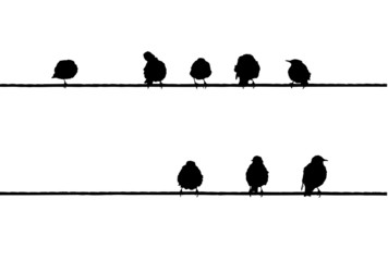 Common Starlings on the power line silhouette