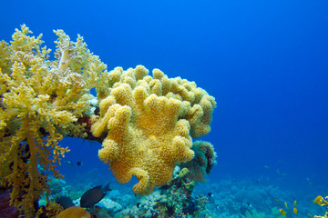 coral reef with yellow soft coral on the bottom of tropical sea