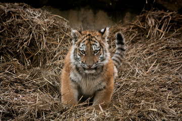 Cute tiger cub resting in the hay