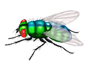 green fly white background