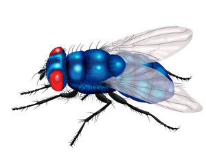 blue fly white background