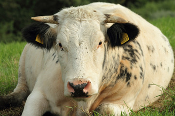 Cow lying on grass in Lessinia Mountains