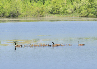 Gaggle of Canada Goose Goslings
