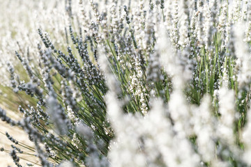 White lavender flowers