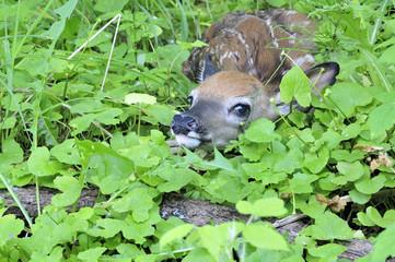 Newborn Whitetail Deer Fawn