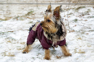 Little yorkshire terrier dog in jacket looking around while