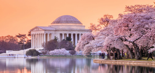 the Jefferson Memorial during the Cherry Blossom Festival Wall mural