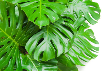 Philodendron monstera obliqua, green leaf background