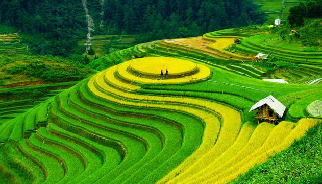 Rice fields on terraces in vietnam