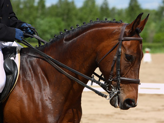 Dressage horse portrait in sports arena