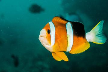 Clownfish, anemonefish in Ambon, Maluku, Indonesia underwater