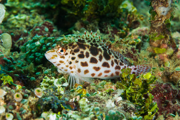 Pixy hawkfish in Ambon, Maluku, Indonesia underwater