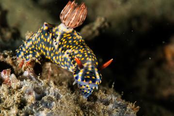 Nudibranch in Ambon, Maluku, Indonesia underwater