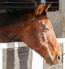 One old brown horses portrait