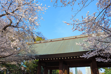 Cherry blossoms at the Yasukuni Shrine in Tokyo