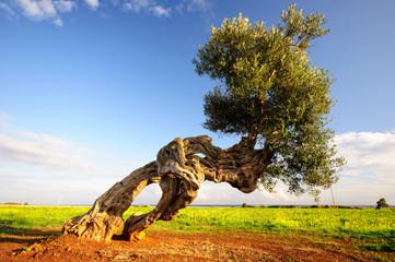 Puglia Olivo ulivo millenario