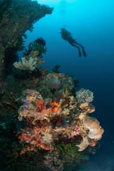 Diver, sponges, black sun coral in Ambon, Maluku underwater