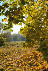 Maple trees and maple leaves landscape