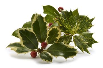 Ilex aquifolium Acebo Holly Agrifoglio Europäische Stechpalme