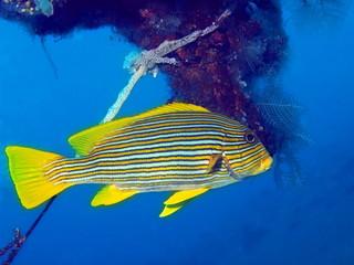 Coral fish, Island Bali, Tulamben