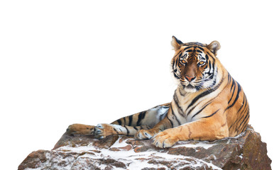 Siberian tiger on white