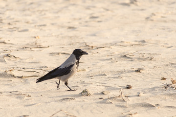 crow walking down the beach sand